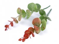 Listki eukaliptusa 2szt. bugund - zielony